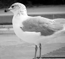 Gull in Black & White by BonnieToll