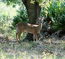 kissimmee prairie deer by cliffordc1