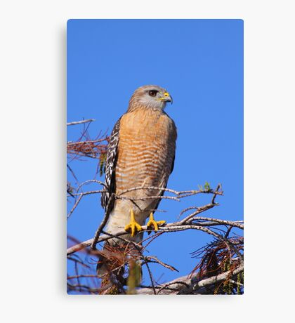 Red-shouldered Hawk Canvas Print