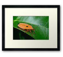 Bronze Orange Stink Bug Nymph - Musgraveia sulciventris Framed Print