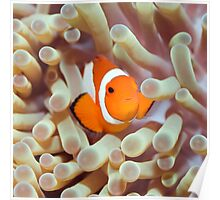 Tropical fish Clownfish Poster