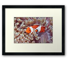Anemone and Clown-fish Framed Print