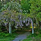 Wisteria Covered Arbor by Ray Wells