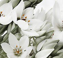 White Lillies by gary A. trounson