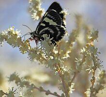 Black Butterfly by yolanda