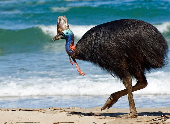 Strolling by - cassowary on the beach by Jenny Dean