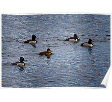Escort Service - Ring Necked Ducks Poster