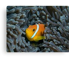 The anemonfish of the Maldives Canvas Print