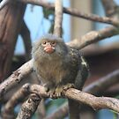 Pygmy Marmoset by Asoka