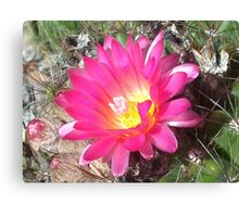 Lovely but Lonely cactus flower Canvas Print