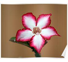 Bushveld star - Impala Lily Poster