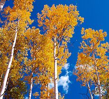 Golden Aspens of Owl Creek Pass by Alex Cassels