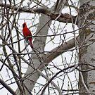 Bright Red Cardinal by Jill Vadala