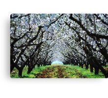 Almond trees Canvas Print