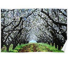 Almond trees Poster