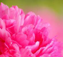Soft pink peony by Sunfe