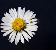 Bellis Perennis by Alf Myers