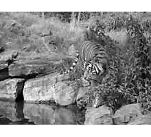 Tiger Two- Dublin Zoo Photographic Print