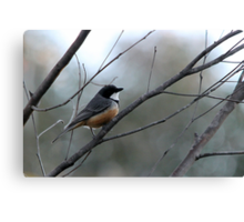 Rufous Whistler Male Canvas Print