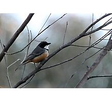Rufous Whistler Male Photographic Print