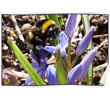 First Bumble Bee of Spring Poster