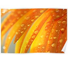 Water Drops On A Daisy Petals Poster