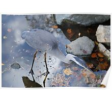 Blue Heron Fishing Photograph Poster