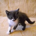 Little Kitten. by Vitta