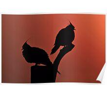 Crested Pigeons. Brisbane, Queensland, Australia.  Poster