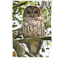 Barred Owl in a Tree Poster