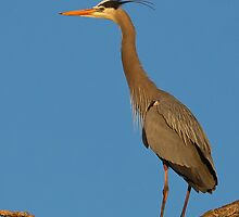 Perched GBH by kurtbowmanphoto