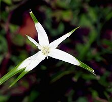 White Star Sedge by ♥⊱ B. Randi Bailey