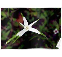 White Star Sedge Poster