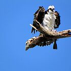 Osprey and her Fish by Rosalie Scanlon
