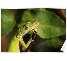 Green Anole Lizard Eating  Poster