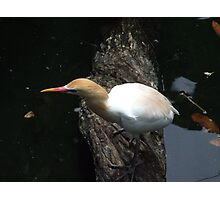 Water Bird Photographic Print