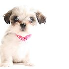 Baby Shih Tzu by Susanne Correa