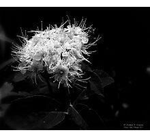 White Tendrils Photographic Print