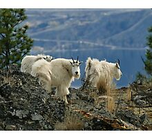 Mountain Goats Up Close Photographic Print