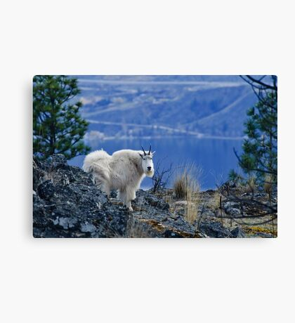 Mountain Goats Watching Us Canvas Print
