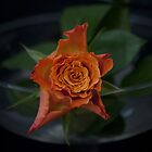 Single  Rose .. a matter of light by John44