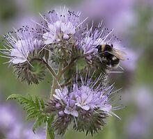 Bumblebee in a blue flower by Susanna Hietanen
