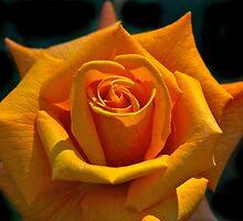 Saffron Beauty by bevanimage