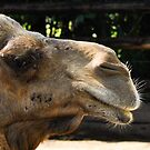 camel by gary roberts