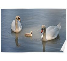Swan family... And a peaceful story Poster