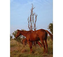 Bush Work Horse Photographic Print