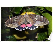Fruit sucking moth 2 Poster