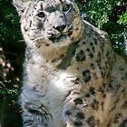 Snow leopard by Antoine de Paauw
