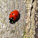 Smiling Ladybird by Luci Mahon