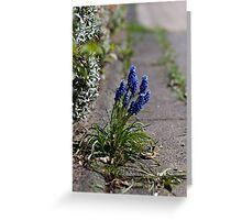 Grape hyacinths on the sidewalk Greeting Card